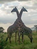 Parque nacional de Serengeti, Tanzânia - girafas Fotos de Stock Royalty Free