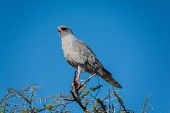 Parque nacional de Serengeti, Tanzânia - Goshawk Fotografia de Stock Royalty Free