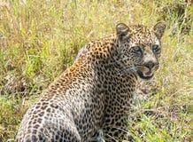 Parque nacional de Serengeti, Tanzânia - leopardo Foto de Stock