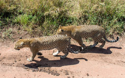 Parque nacional de Serengeti, Tanzânia - leopardos Imagens de Stock