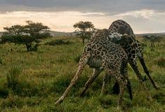 Parque nacional de Serengeti, Tanzânia - luta dos girafas Fotos de Stock