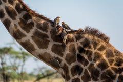 Parque nacional de Serengeti, Tanzânia - Oxpeckers que alimentam em um girafa Foto de Stock Royalty Free