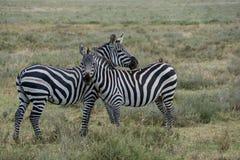 Parque nacional de Serengeti, Tanzânia - zebras Fotos de Stock