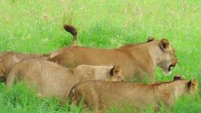 Parque nacional de Tarangire de los leones africanos almacen de video
