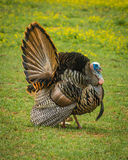Parque nacional de Turquia Great Smoky Mountains Fotos de Stock