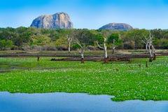 Parque nacional de Yala, Sri Lanka, Ásia Paisagem bonita, lago com flores da água e árvores velhas Floresta em Sri Lanka, ro gran Imagem de Stock