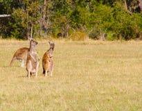 Parque nacional de Yanchep Imagens de Stock Royalty Free