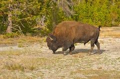 Parque nacional de Yellowstone Imagem de Stock Royalty Free
