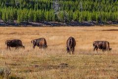 Parque nacional de Yellowstone Imagens de Stock Royalty Free