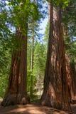 Parque nacional de Yosemite - sequóias vermelhas do bosque de Mariposa imagem de stock