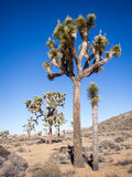 Parque nacional del árbol de Joshua fotografía de archivo libre de regalías