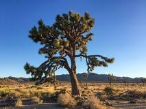 Parque nacional del árbol de Joshua imagenes de archivo