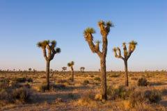 Parque nacional del árbol de Joshua por la mañana Foto de archivo libre de regalías