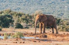 Parque nacional del elefante de Addo, Eastern Cape, Suráfrica Foto de archivo