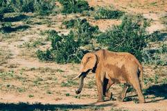 Parque nacional del elefante de Addo, Eastern Cape, Suráfrica Fotos de archivo libres de regalías
