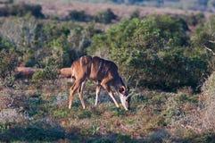 Parque nacional del elefante de Addo, Eastern Cape, Suráfrica Imagen de archivo