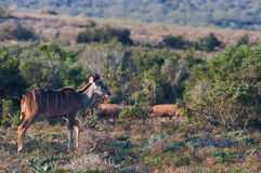 Parque nacional del elefante de Addo, Eastern Cape, Suráfrica Imágenes de archivo libres de regalías