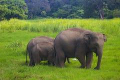 Parque nacional del minneriya salvaje asiático de Eliphant - de Sri Lanka foto de archivo libre de regalías