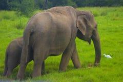 Parque nacional del minneriya salvaje asiático de Eliphant - de Sri Lanka fotografía de archivo
