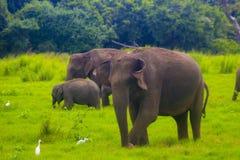 Parque nacional del minneriya salvaje asiático de Eliphant - de Sri Lanka fotos de archivo libres de regalías