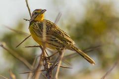 Parque nacional del oeste admitido pipit de oro Kenia África de Tsavo del pájaro Imagen de archivo libre de regalías