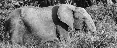 Parque nacional del oeste blanco y negro Kenia África de Tsavo del elefante solitario Imagen de archivo libre de regalías