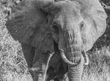 Parque nacional del oeste blanco y negro Kenia África de Tsavo del elefante solitario Fotografía de archivo libre de regalías