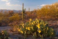 Parque nacional del Saguaro Fotografía de archivo