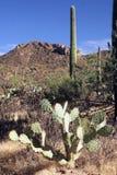 Parque nacional del Saguaro Foto de archivo libre de regalías
