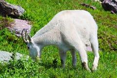 Parque Nacional Glacier de la cabra de montaña fotografía de archivo libre de regalías