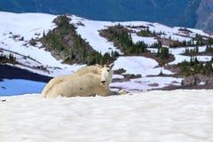 Parque Nacional Glacier de la cabra de montaña imagen de archivo