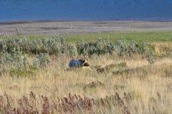 Parque Nacional Glacier del oso grizzly fotografía de archivo libre de regalías