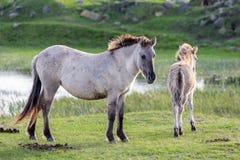 Parque nacional holandés Oostvaardersplassen con el caballo y el potro del konik Foto de archivo