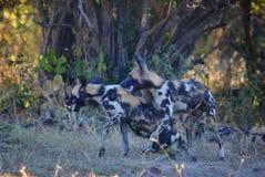 Parque nacional Luangwa sul de cães de hienas Fotos de Stock Royalty Free