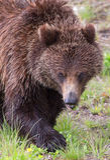 Parque nacional preto de Urso-Yellowstone Foto de Stock