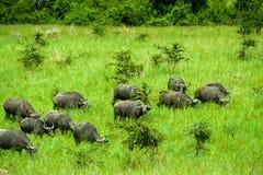 Parque nacional Uganda de búfalo de água Imagens de Stock