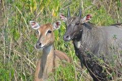 Parque nacional Uttarakhand de Rajaji del safari salvaje de la vida de Sambhar foto de archivo