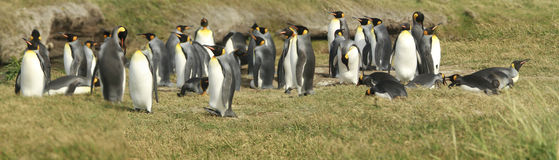 Parque Pinguino Rey - King Penguin park on Tierra del fueg Royalty Free Stock Images