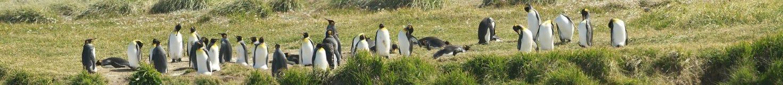 Parque Pinguino Rey - konungen Penguin parkerar på Tierra del fueg Royaltyfria Bilder