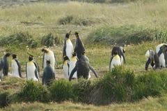 Parque Pinguino Rey - konungen Penguin parkerar på Tierra del fueg arkivbilder