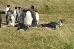 Parque Pinguino Rey - królewiątko pingwinu park na Tierra Del Fueg zdjęcia stock