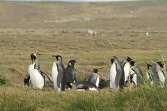 Parque Pinguino Rey - królewiątko pingwinu park na Tierra Del Fueg obraz royalty free