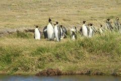 Parque Pinguino Rey - parque de rey Penguin en Tierra del fueg Imagen de archivo