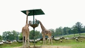 PARQUE POMBIA DO SAFARI, ITÁLIA - 7 DE JULHO DE 2018: girafas curiosos no jardim zoológico do SAFARI Curso no carro as zebras com video estoque