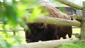 PARQUE POMBIA, ITALIA del SAFARI - 7 de julio de 2018 detrás de una verja de madera, un bisonte marrón grande, sus lanas vierte e almacen de video