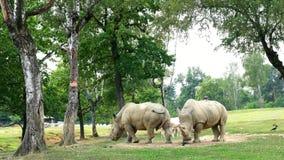 PARQUE POMBIA, ITALIA DEL SAFARI - 7 DE JULIO DE 2018: Viaje en el coche en el parque zoológico del SAFARI rhinos rinoceronte que almacen de metraje de vídeo