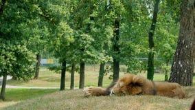 PARQUE POMBIA, ITALIA DEL SAFARI - 7 DE JULIO DE 2018: Viaje en el coche en el parque zoológico del SAFARI un león grande con una metrajes