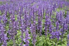 parque roxo em campos de flores da alfazema em Jimtomson em Korat, Tailândia Imagens de Stock