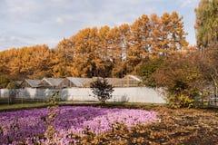 Parque urbano do outono Açafrões lilás, estufas e larício amarelos Fotos de Stock