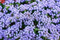 Parque violeta do houstonianum do Ageratum da flor de Floss Flor mexicana da violeta de jardim do Ageratum Foto horizontal fotos de stock